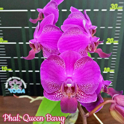 Phal. Queen Barry размер 3