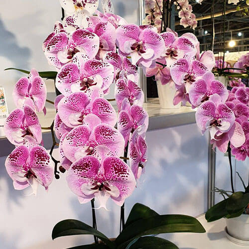 Phal. Charming Angelina размер 3,5