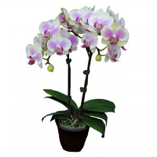 № 501 Phal. Younghome Pinkfly размер 1,7