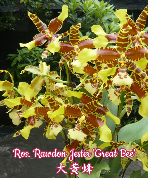 № 1093 Ros. Rawdon Jester 'Great Bee' размер 2,5/3