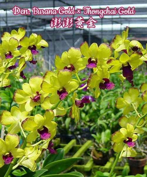 № 1101 Den. Burana Gold × Thongchai Gold размер 2,8