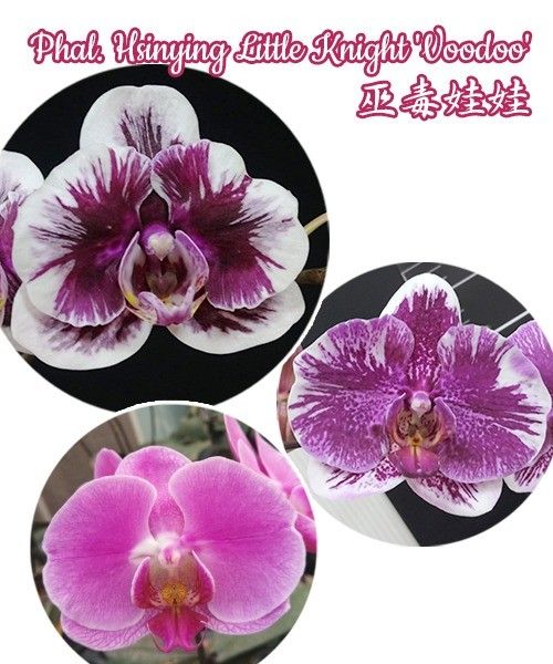 № 607 Phal. Hsinying Little Knight 'Voodoo' размер 1,7