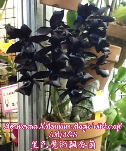 № 703 Monnierara Millennium Magic 'witchcraft'  размер 2,5