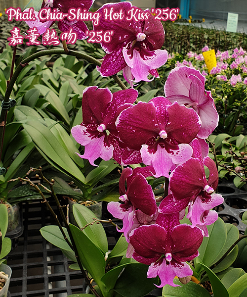 № 706 Phal. Chia-Shing Hot Kiss '256' размер 2,5