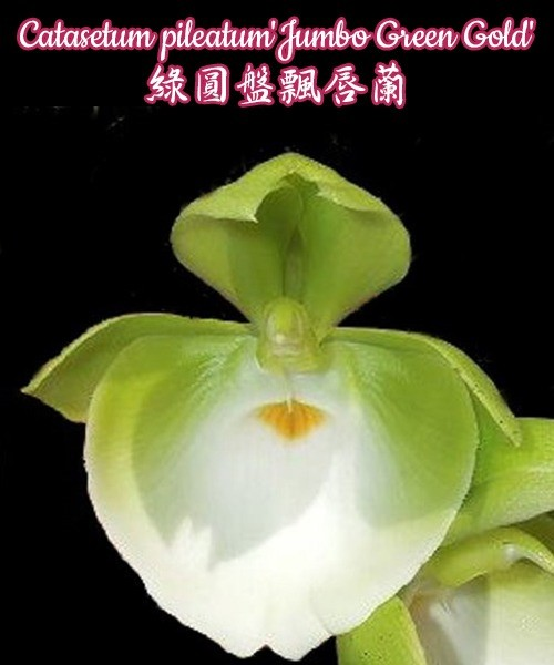 № 91 Catasetum pileatum Jumbo Green Gold размер 3
